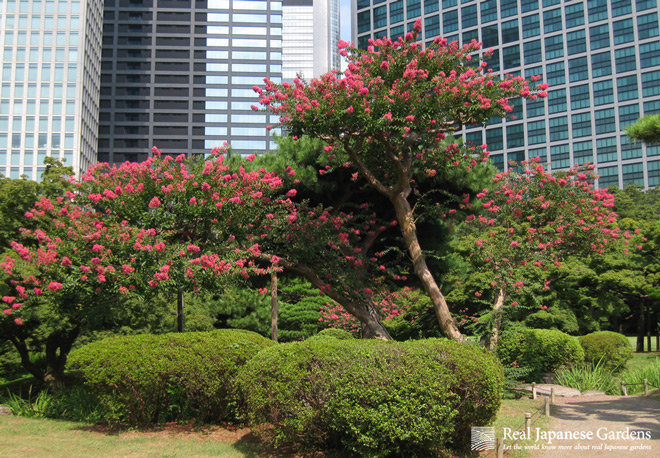Several Trees And Shrubs Flower In Summer, For Example, Hibiscus And  Lagerstroemia Indica. These Plants Can Be Cut Directly After They Ended  Flowering.